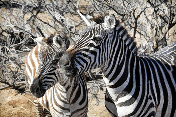 Wall Art - Photograph - Mom And Filly-  Zebras by Donna Kennedy