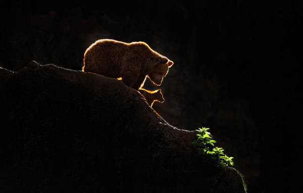 Wall Art - Photograph - Mom Bear With Cub by Xavier Ortega