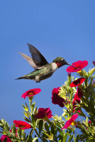 Beautiful Hummingbird Photograph - Moments Of Joy by Christina Rollo