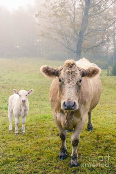 Daughter Photograph - Momma And Baby Cow by Edward Fielding