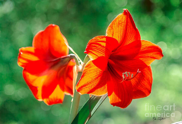 Photograph - Moms Amaryllis Flower by Mike Covington