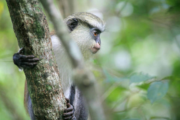 Ghana Wall Art - Photograph - Mona Monkeys In Ghana by Christopher Herwig