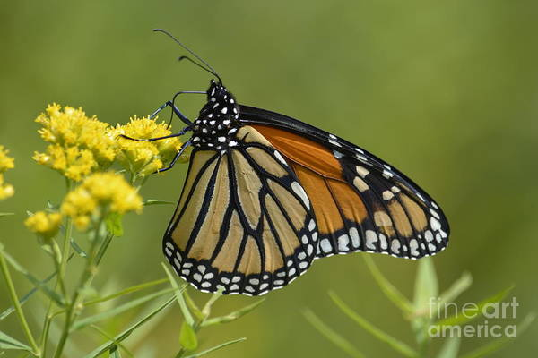 Photograph - Monarch 2014 by Randy Bodkins