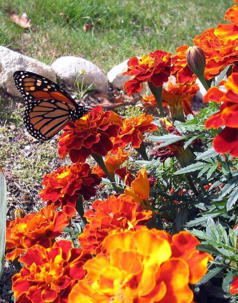Photograph - Monarch Among The Marigolds by Linda Feinberg