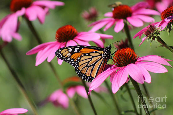 Photograph - Monarch And Conflowers by Karen Adams