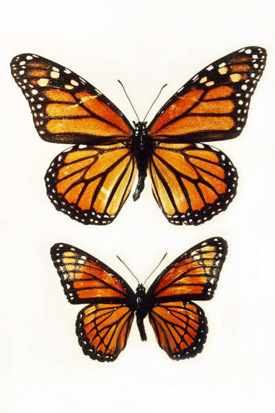 Photograph - Monarch And Viceroy by Scott Camazine