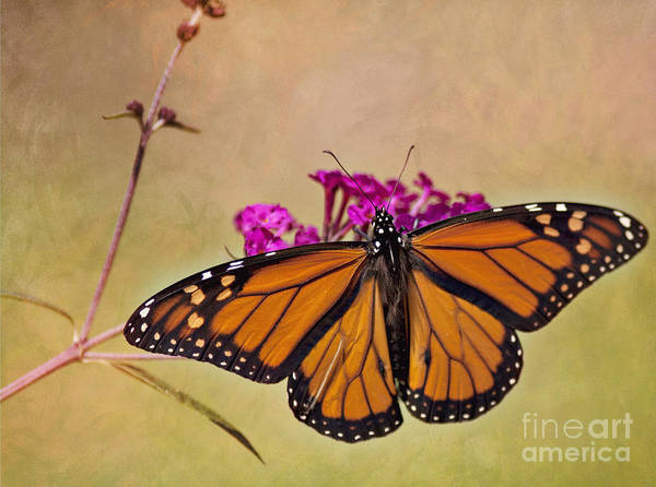 Photograph - Monarch Beauty by Pam  Holdsworth