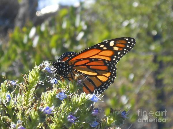 Photograph - Monarch  by Bridgette Gomes