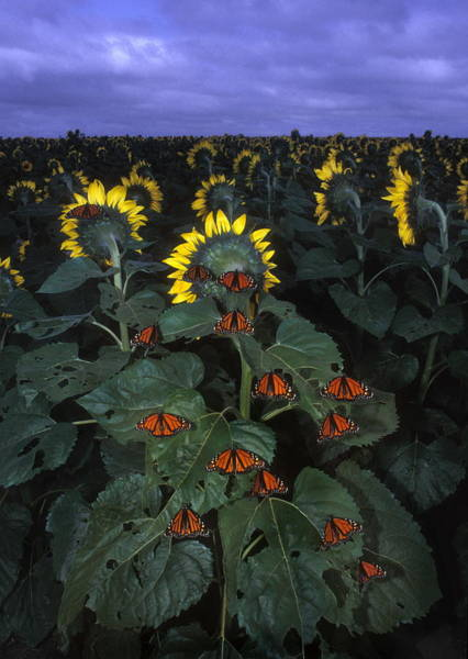 Helianthus Annuus Photograph - Monarch Butterflies by Jim Reed/science Photo Library