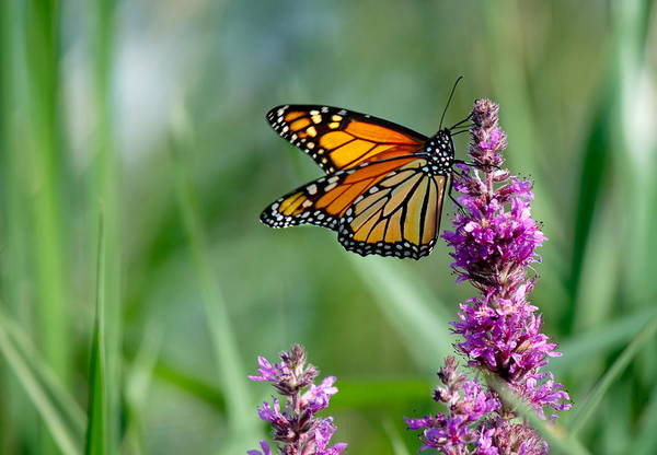 Photograph - Monarch Butterfly  by Andrea Kollo