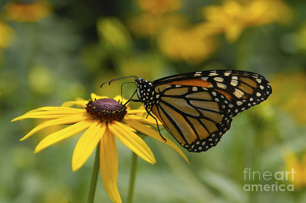 Photograph - Monarch Butterfly by Anthony Sacco