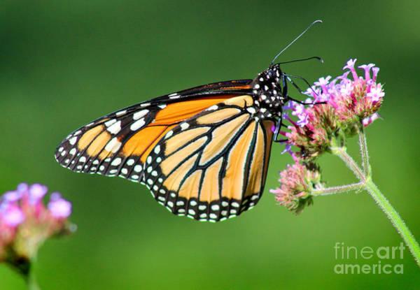 Photograph - Monarch Butterfly Beauty by Karen Adams