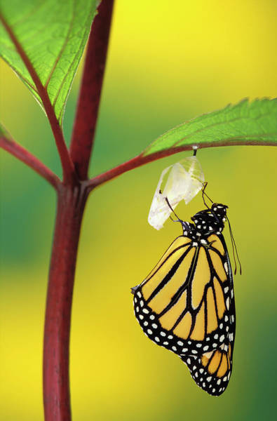 Beginnings Photograph - Monarch Butterfly Beginning To Emerge by Thomas Kitchin & Victoria Hurst / Design Pics