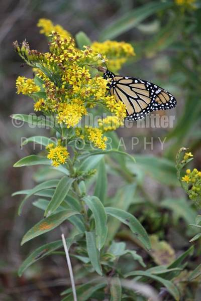 Encounter Bay Photograph - Monarch Butterfly  by Captain Debbie Ritter