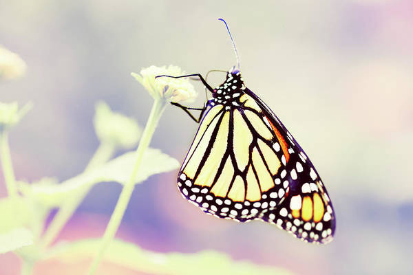 End Of Summer Photograph - Monarch Butterfly by Chrispecoraro