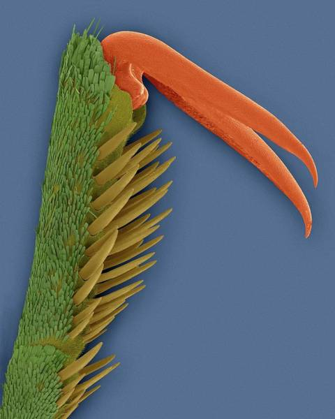 Clawed Photograph - Monarch Butterfly Claw by Dennis Kunkel Microscopy/science Photo Library