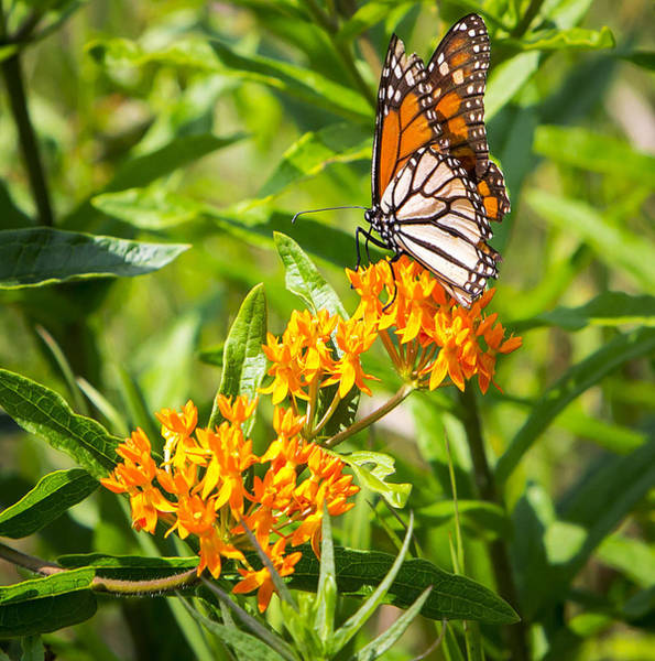 Photograph - Monarch Butterfly Danaus Plexippus by Ricky L Jones