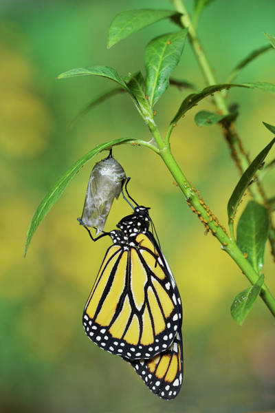 Molting Wall Art - Photograph - Monarch Butterfly Emerging by Rolf Nussbaumer