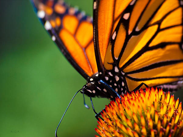 Orange Photograph - Monarch Butterfly Headshot by Bob Orsillo