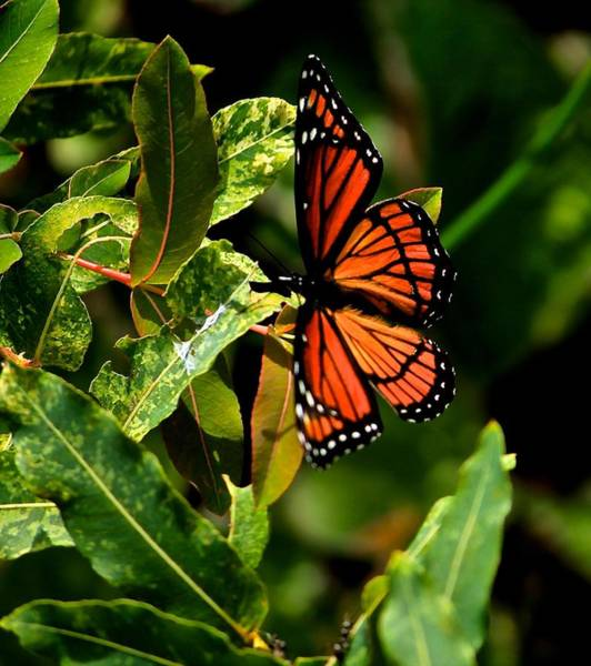 Bokah Photograph - Viceroy Butterfly II by Michael Saunders