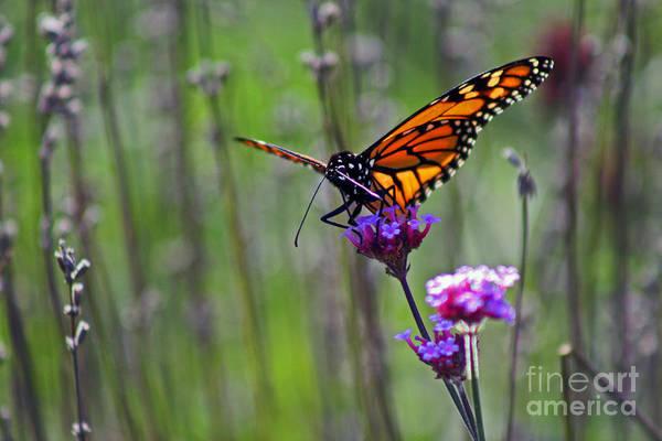 Photograph - Monarch Butterfly In Field by Karen Adams
