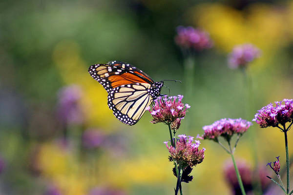 Photograph - Monarch Butterfly In Field On Verbena by Karen Adams