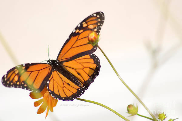 Photograph - Monarch Butterfly In Flight by Richard J Thompson
