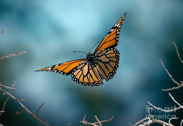 Photograph - Monarch Butterfly In Flight by Stephen Dalton