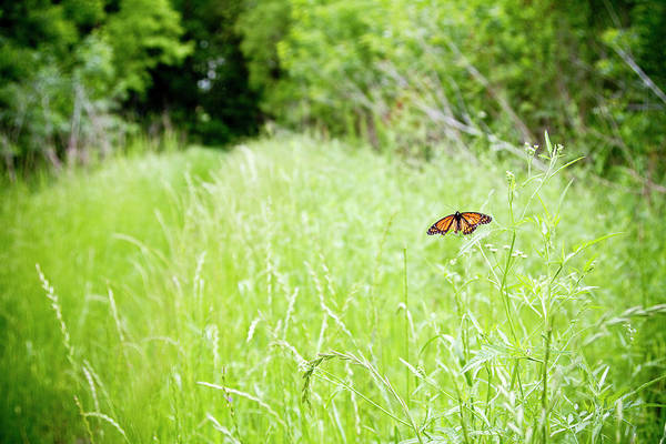 No-one Wall Art - Photograph - Monarch Butterfly In Green Field by Thorpeland Photography