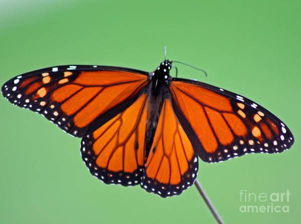 Photograph - Monarch Butterfly by Karen Adams