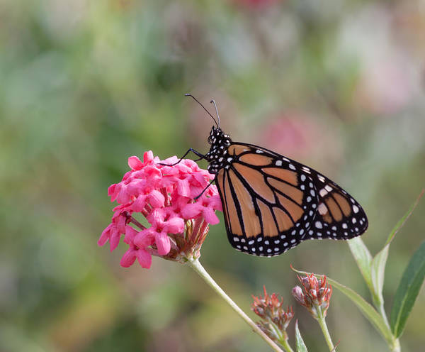 Photograph - Monarch Butterfly by Kim Hojnacki
