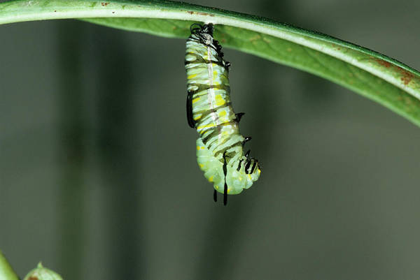 Larva Wall Art - Photograph - Monarch Butterfly Larva by Sally Mccrae Kuyper/science Photo Library