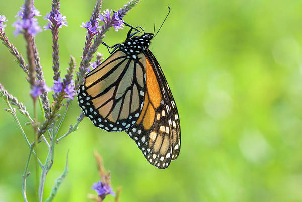Fairfield Photograph - Monarch Butterfly by Matt Meadows/science Photo Library
