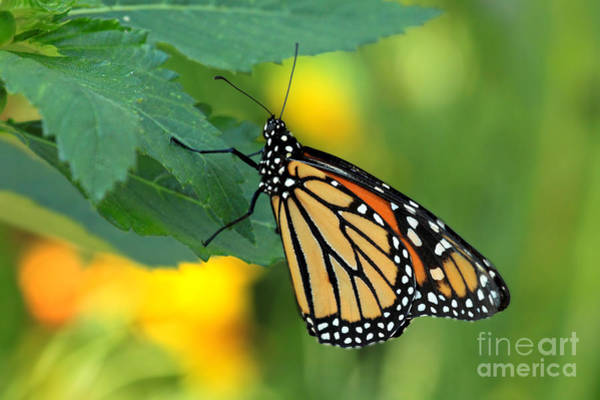 Photograph - Monarch Butterfly by Meg Rousher