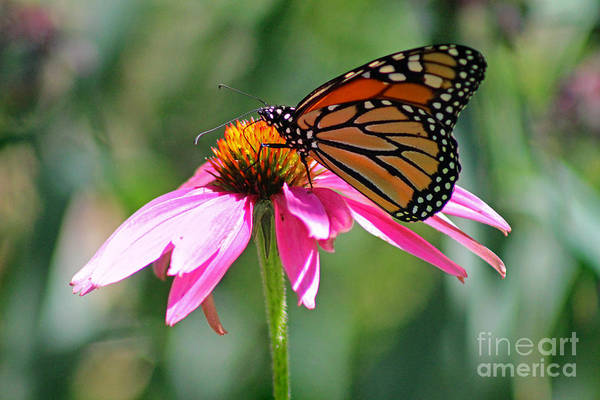 Photograph - Monarch Butterfly On A Coneflower by Karen Adams
