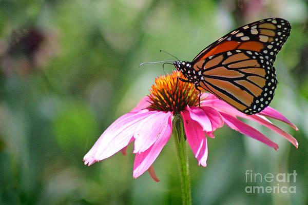 Photograph - Monarch Butterfly On Coneflower by Karen Adams