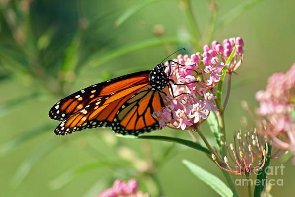 Monarch Butterfly On Milkweed Art Print