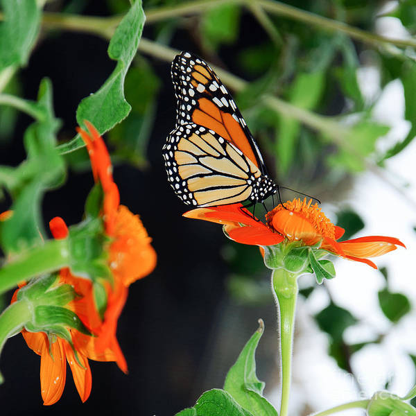 Wall Art - Digital Art - Monarch Butterfly On Orange Flower by Andee Design