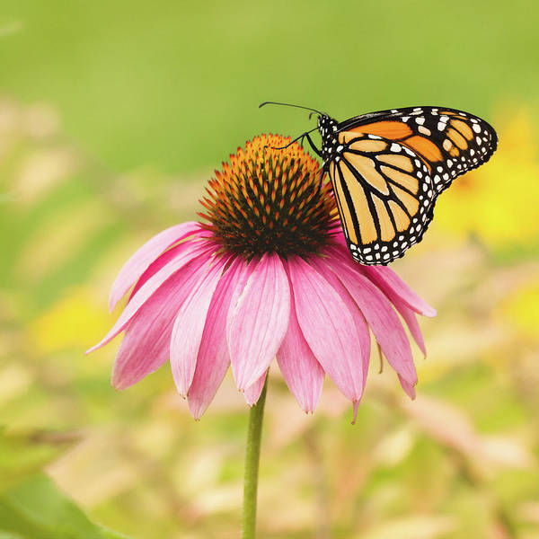 Wall Art - Photograph - Monarch Butterfly On Pink Coneflower by Kimjane Photography