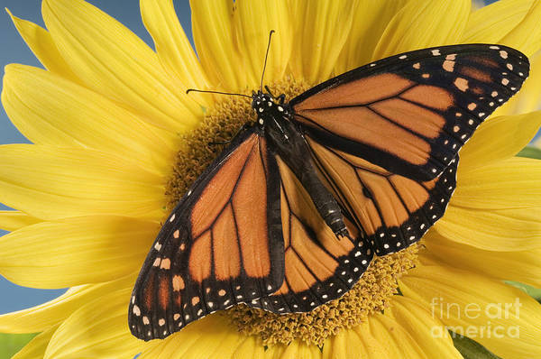 Photograph - Monarch Butterfly On Sunflower by Wave Royalty Free