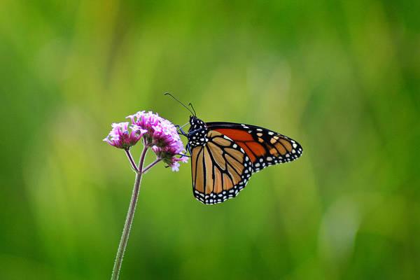 Photograph - Monarch Butterfly On Verbena by Karen Adams