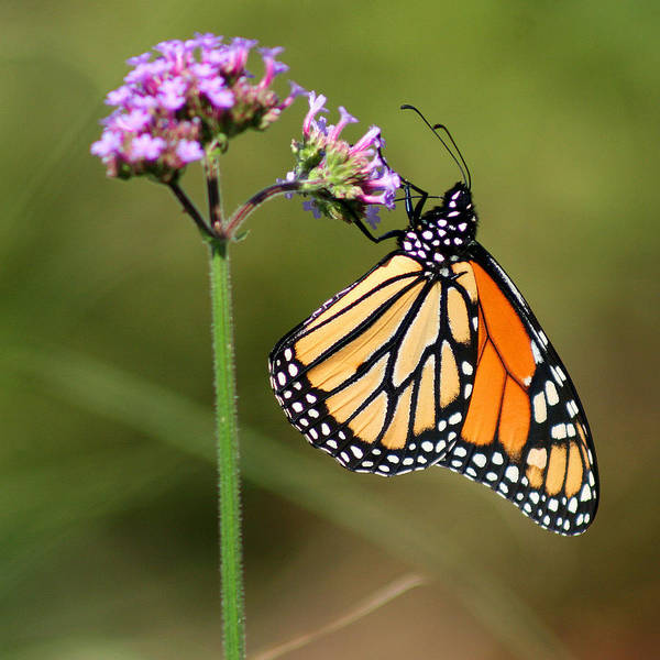 Photograph - Monarch Butterfly On Vibernum Square by Karen Adams