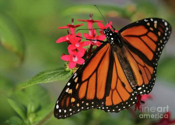 Photograph - Monarch Butterfly by Sabrina L Ryan