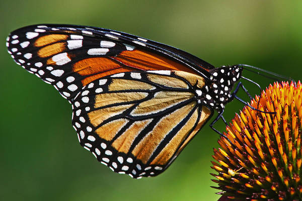 Photograph - Monarch Butterfly by Theo OConnor