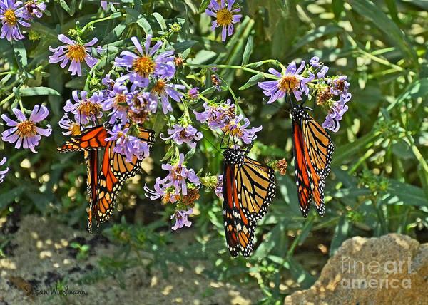 Photograph - Monarch Butterfly Trio by Susan Wiedmann