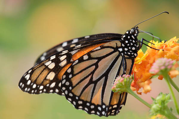 Photograph - Monarch Butterfly With Backlit Wings by Daniel Reed