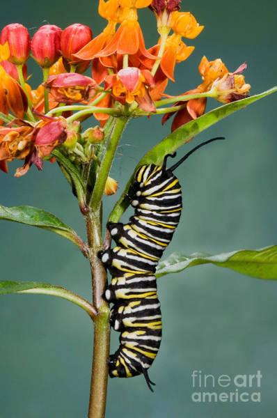 Photograph - Monarch Caterpillar On Milkweed by Anthony Mercieca