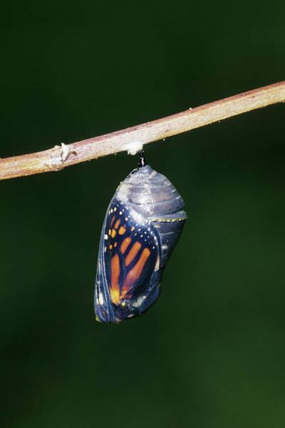 Molting Wall Art - Photograph - Monarch (danaus Plexippus by Richard and Susan Day