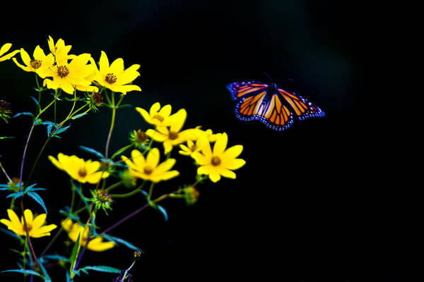 Photograph - Monarch Golden Light by Jack R Perry