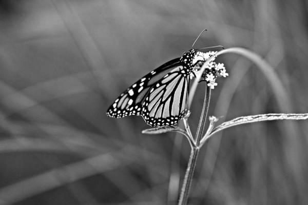 Photograph - Monarch In Monochrome by Jp Grace